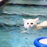 van kedileri için yüzme havuzu yapıldı